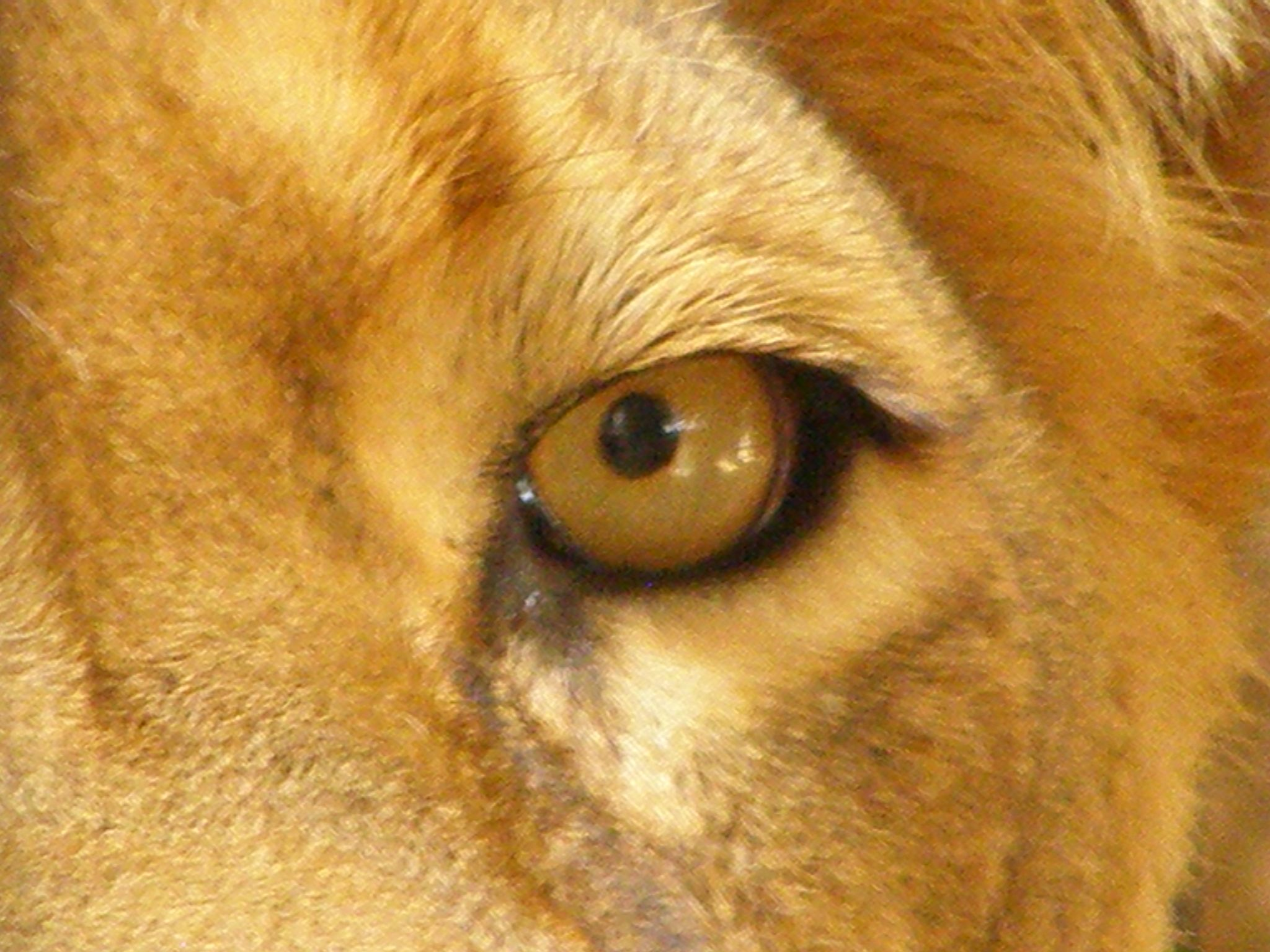 Popular Wallpaper Horse Lion - lion_panthera_leo_eye_close-up  Picture_58212.jpg