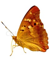 2955988-golden-butterfly-isolated-on-white